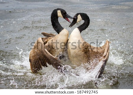 A pair of Canada Geese locked in combat. - stock photo