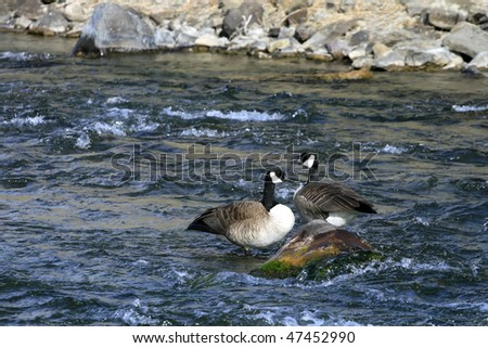 A pair of Canadian Geese standing on a colorful rock in the middle of a river. - stock photo
