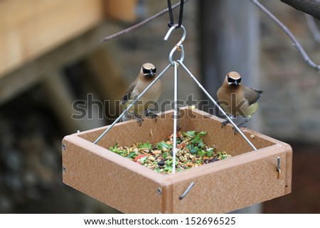 A pair of Cedar Waxwing birds on a bird feeder