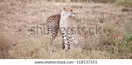 A pair of cheetahs scan the savannah in two different directions. Serengeti National Park, Tanzania - stock photo