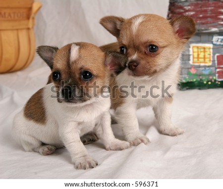 A pair of Chihauhau puppies - stock photo