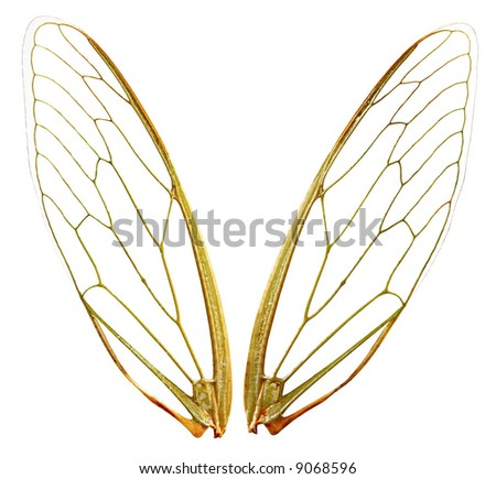 A pair of cicada wings, with clipping path.  Perfect for any design where you need fairy gossamer wings.  Each wing photographed individually. - stock photo