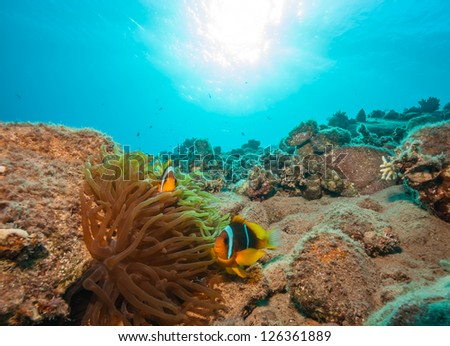 A pair of Clownfish swim around a coral reef - stock photo