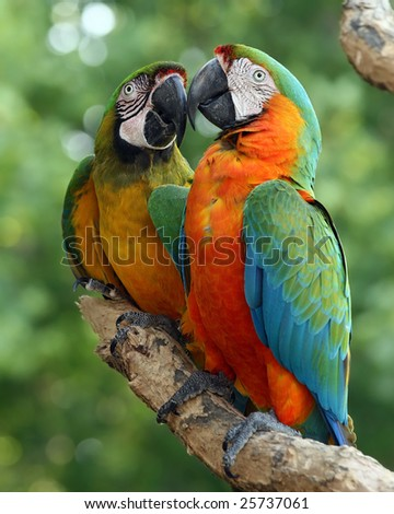 A pair of colourful Military macaws touch beaks - stock photo