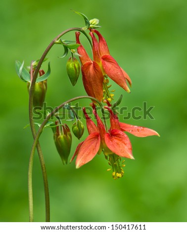 A pair of Columbine flowers bloom in springtime. - stock photo