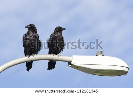 A pair of common ravens on a light-post. - stock photo