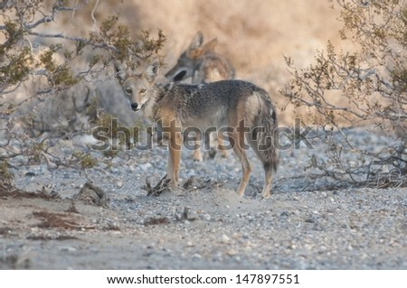 A pair of coyotes in the desert. - stock photo