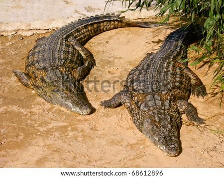 A pair of crocodiles lying on the sand - stock photo