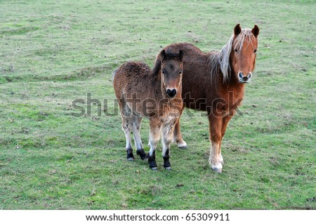 A pair of cute brown ponies on a green grass field. - stock photo