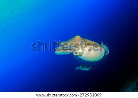A pair of Cuttlefish swim in blue water - stock photo