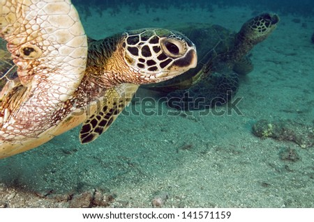 A pair of endangdered green sea turtles sitting on the bottom