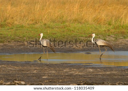 A pair of endangered wattle cranes walking in the water, caprivi, namibia - stock photo