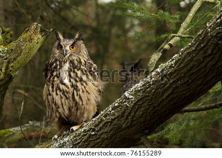 A pair of Eurasian Eagle Owls - stock photo