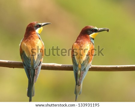 A pair of european bee-eaters, perched on a twig - stock photo
