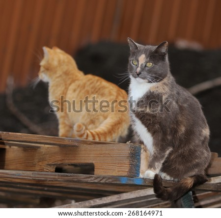 A Pair of Feral Cats Searching Through a Wood Pile for Prey - stock photo