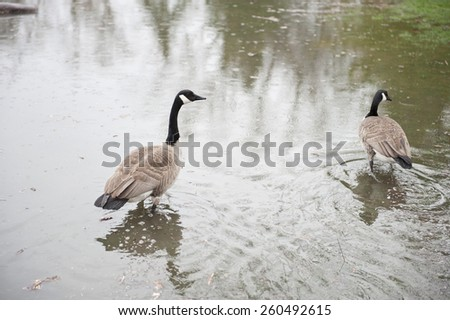 A pair of geese swimming in the water of a park that was flooded. - stock photo