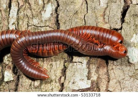 A pair of Giant Millipedes (Diplopoda) mating on Koh Lanta Island, Thailand - stock photo