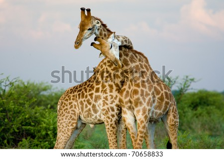 A pair of giraffe entwining their necks - stock photo