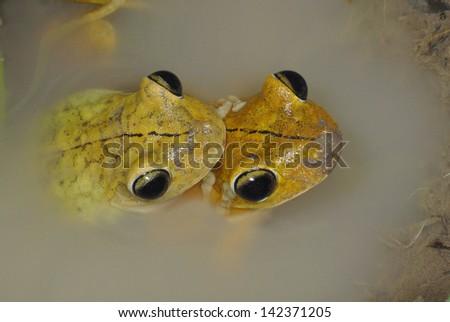 A pair of Gladiator Frogs (Hypsiboas rosenbergi) mating in Costa Rica - stock photo