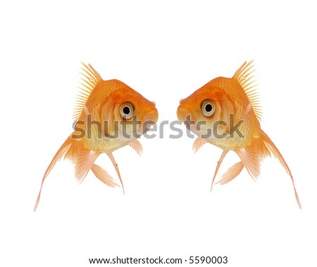 A pair of goldfish stare at each other.