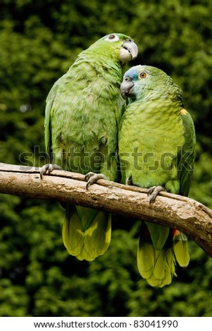 A Pair Of Green Amazon Parrots. - stock photo