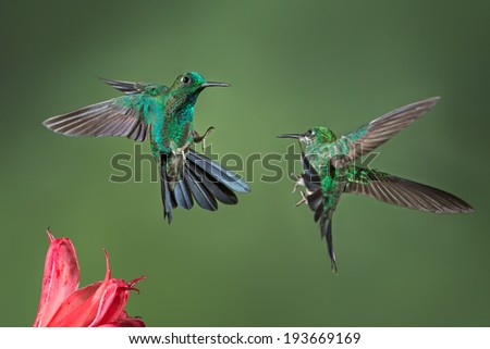 A pair of Green-crowned Brilliant hummingbird having a fight over a flower. - stock photo