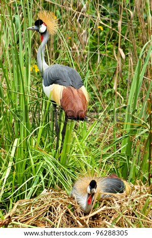 A pair of Grey-crowned Crane, also called Crown-crested Crane, while the female sits on the eggs, the male relentlessly watches over the nest - stock photo