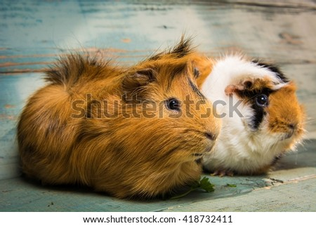 A pair of guinea pigs on the wooden table