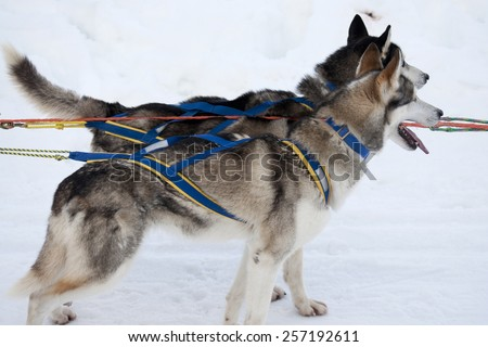 A pair of harnessed sled dogs ready to start - stock photo