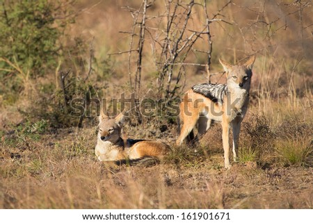 A pair of healthy black-backed jackals soak up the sun in South Africa's Pilanesberg National Park - stock photo
