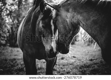 A pair of horses showing affection - stock photo
