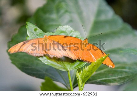 A pair of Julia Butterfly has an orange color which is brighter in the males with black markings.