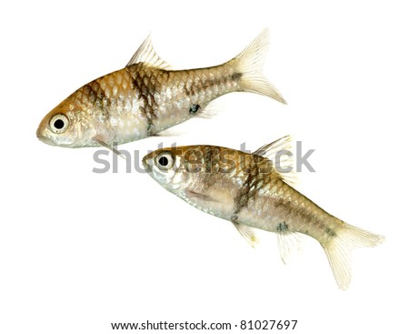 A Pair of Juvenile Barbodes lateristriga also known as Spanner Barbs