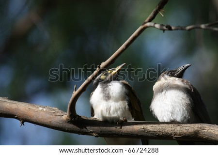 A Pair of Juvenile Blue-Faced Honeyeaters (Entomyzon Cyanotis) in Echuca, Victoria, Australia - stock photo