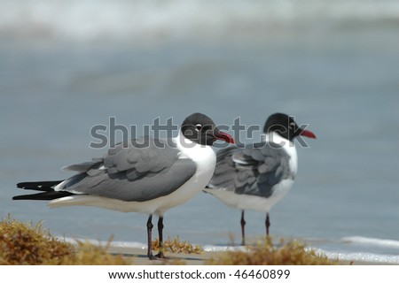 A pair of laughing gulls on the shore at South Padre Island in southern Texas. - stock photo