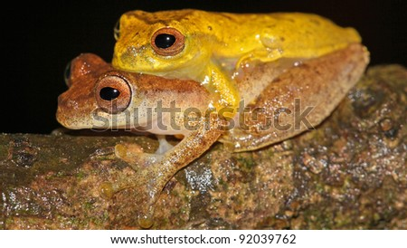 A Pair of Lesser Treefrogs (Dendropsophus minutus) in the Peruvian Amazon - stock photo