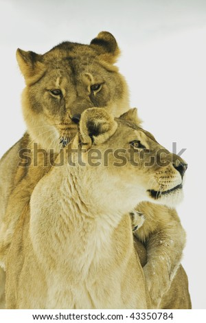 a pair of lion in winter scene - stock photo