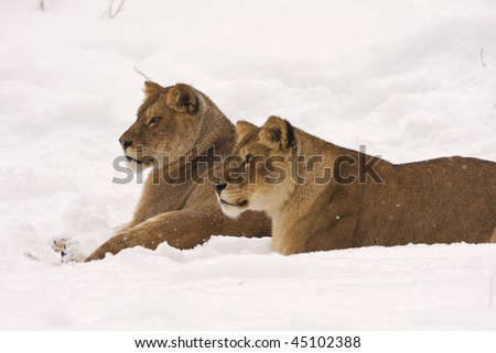 a pair of lion on snow in a winter scene - stock photo