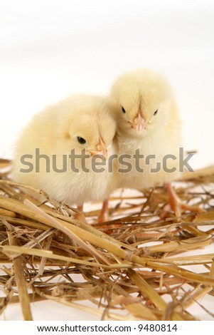 A pair of little baby chicken in a nest - stock photo