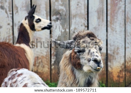 A pair of Llamas on a farm.  Focus on the front Llama. - stock photo