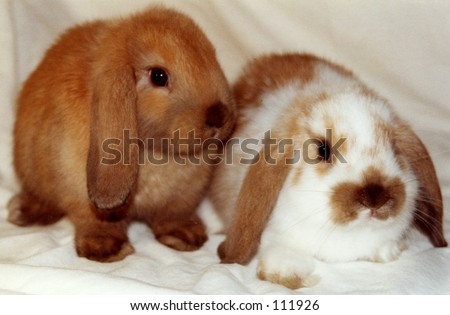 A pair of Lop eared rabbits