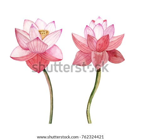 A pair of lotuses. Hand drawn watercolor illustration.