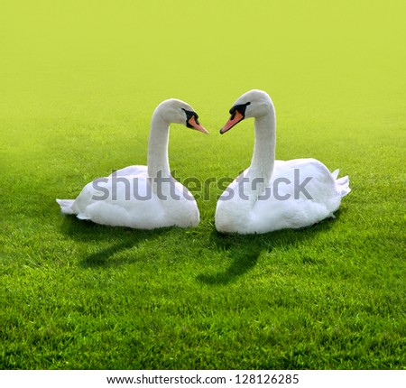 A pair of lovers swans. Summer day. - stock photo