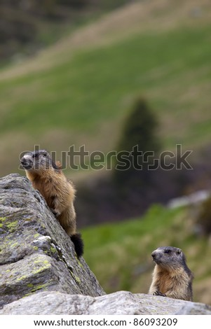 A pair of marmots (Marmota marmota) on a rock in their natural environment. - stock photo