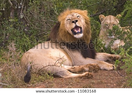 A pair of Mating Lions resting in the bush - stock photo