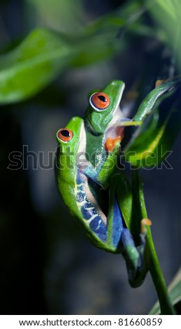 A pair of mating Red-Eyed Tree Frogs climbing to a leaf to lay their eggs.