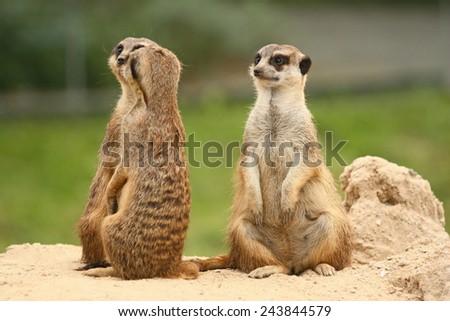 A pair of meerkats. The third Meerkat is sitting behind them. A fifth wheel in the  meerkats community. - stock photo