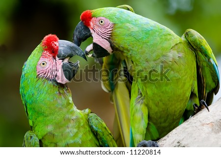 a pair of military macaws - stock photo