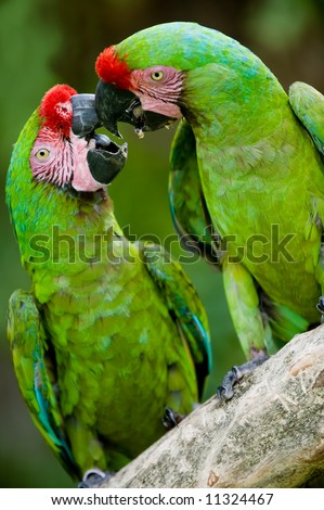 a pair of military macaws playing together - stock photo