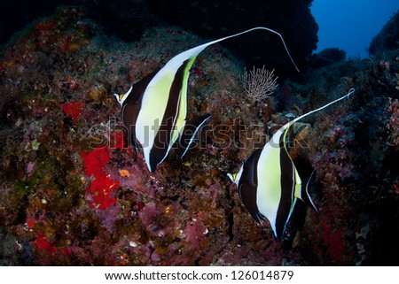 A pair of Moorish Idols (Zanclus cornuta) swim around a rocky reef off Cocos Island, Costa Rica.  This area is known for its sharks so smaller reef fish often disappear as prey. - stock photo